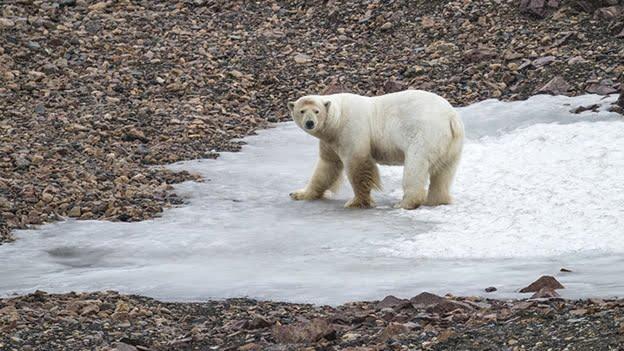 oso-polar-clima-planeta